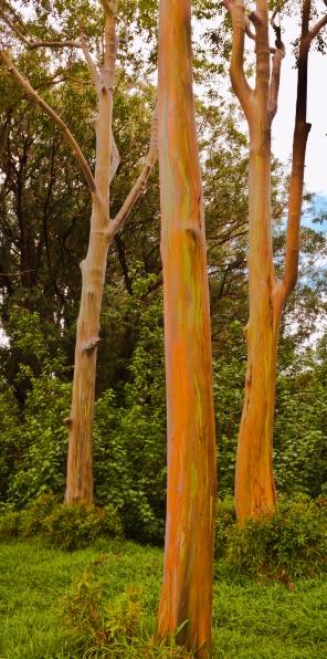 Rainbow Eucalyptus Trio