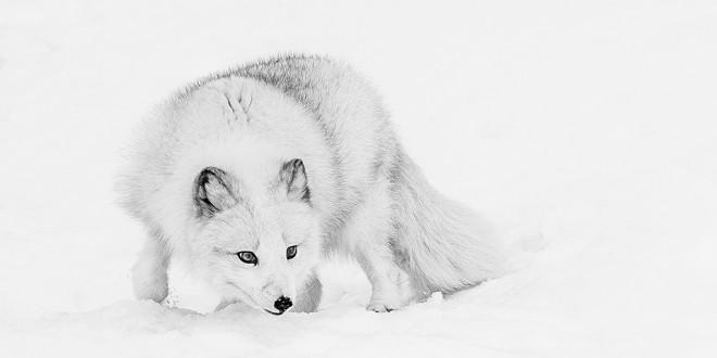 Foxy Lady by Bas Hobson