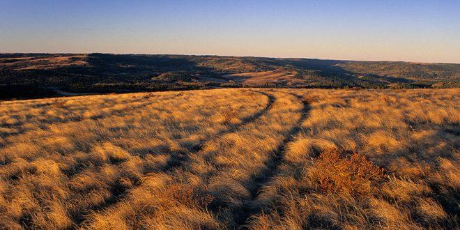 Tire tracks through fescue prairie at sunrise. Cypress Hills Interprovincial Park near Maple Creek, Saskatchewan, Canada. Image ID: SK-2910-4625
